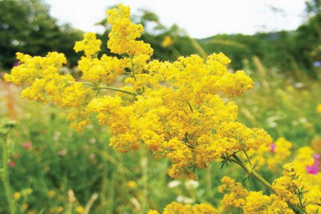 flori de sanziene (dragaici, floarile lui Santion)