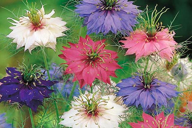 flori de negrilica (chimen negru)