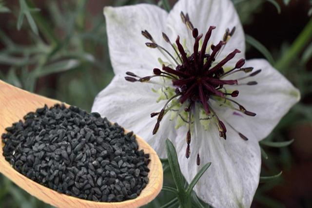 flori albe si seminte de negrilica (chimen negru)