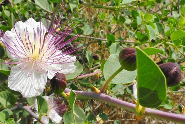 ramura de caper, cu floare, muguri (capere) si frunze