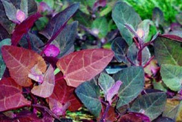 frunze de loboda