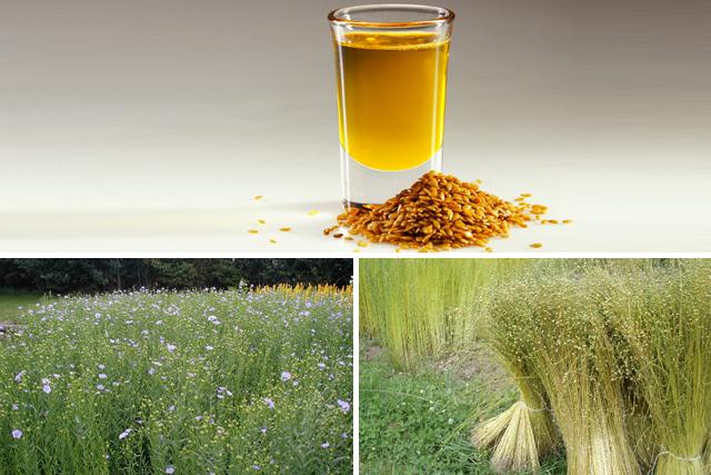 in inflorit, in copt, seminte si ulei de in