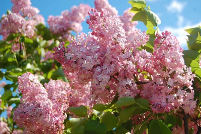 liliac roz inflorit