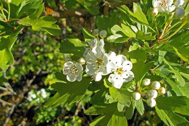 paducel cu flori albe