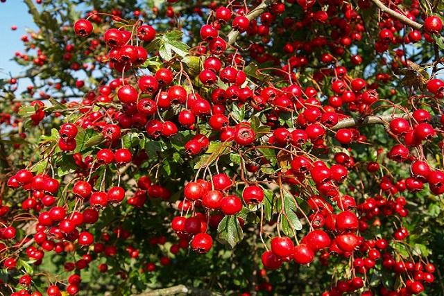 fructe de paducel in copac