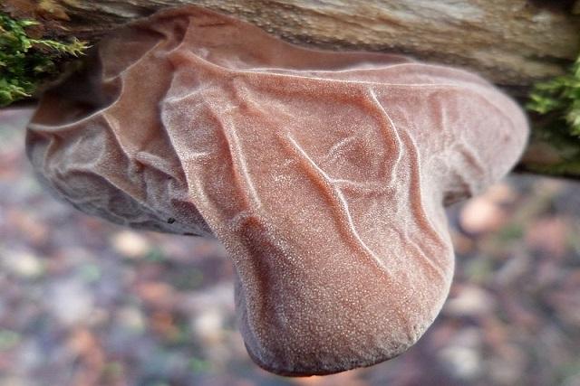ciuperci urechi de lemn 3-sursa Wikipedia