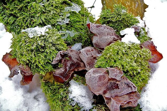 ciuperci urechi de lemn 1-sursa Wikipedia